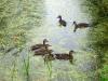 SAM_1077 наши соседи дикие утки