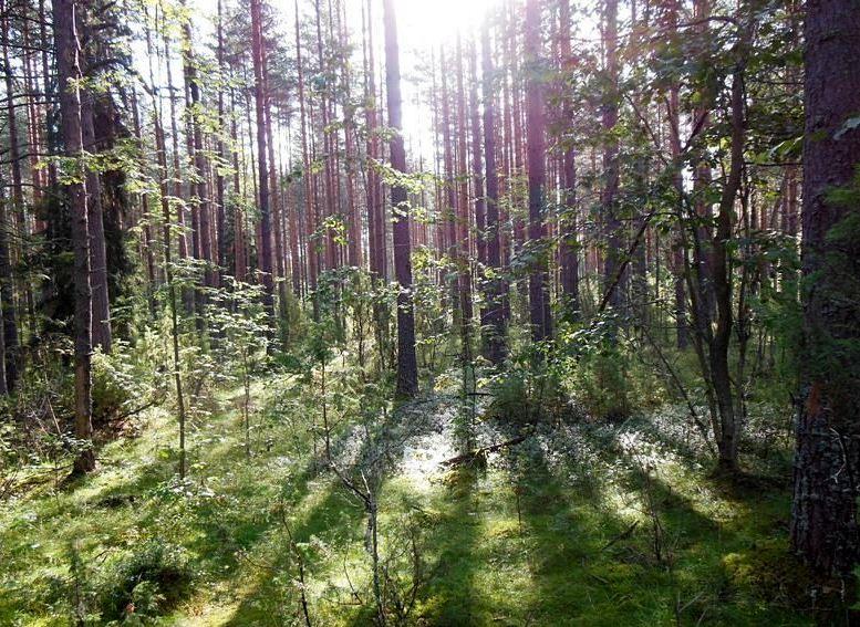 dscn7306 Сосновый лес