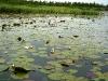 P1020201 Лилия водяная белая